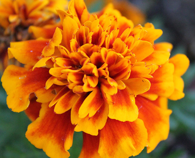 Ringworm Eczema and Itching Treatment With This Flower in