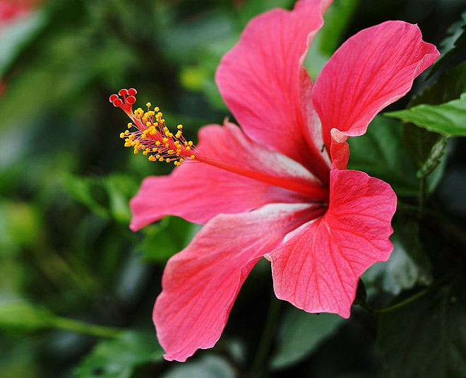 hibiscus benefits for hair skin main