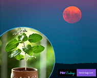importance of tulsi during chandra grahan thumb