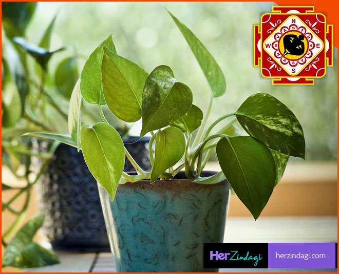 Money Plant Can Bring Good Luck And Wealth In Your Life