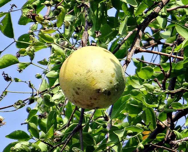 bel fruit health
