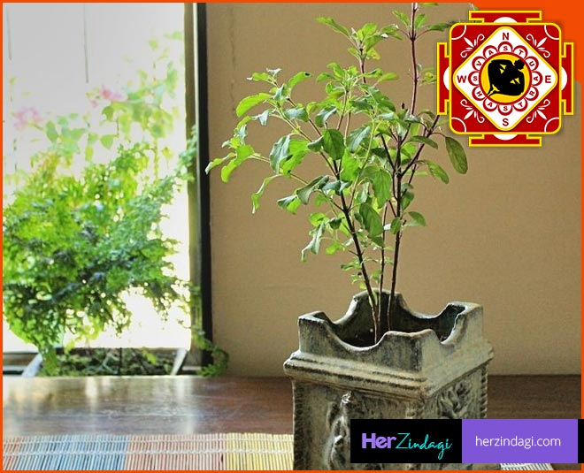 which day to plant tulsi at home