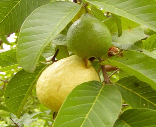 guava  leaves Main