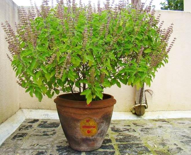 best ways to plant tulsi