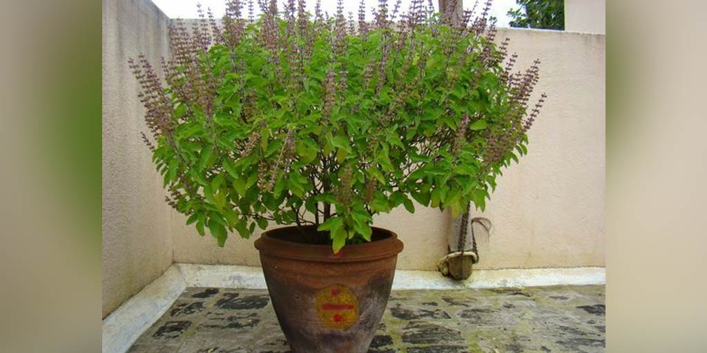 Home Gardening Tips: How To Grow Tulsi Plant At Home In 7 Easy Steps