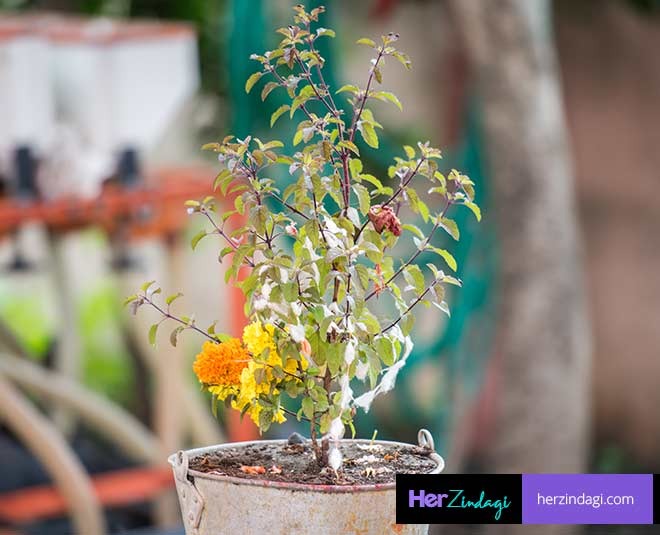 expert tips on take care of tulsi plant