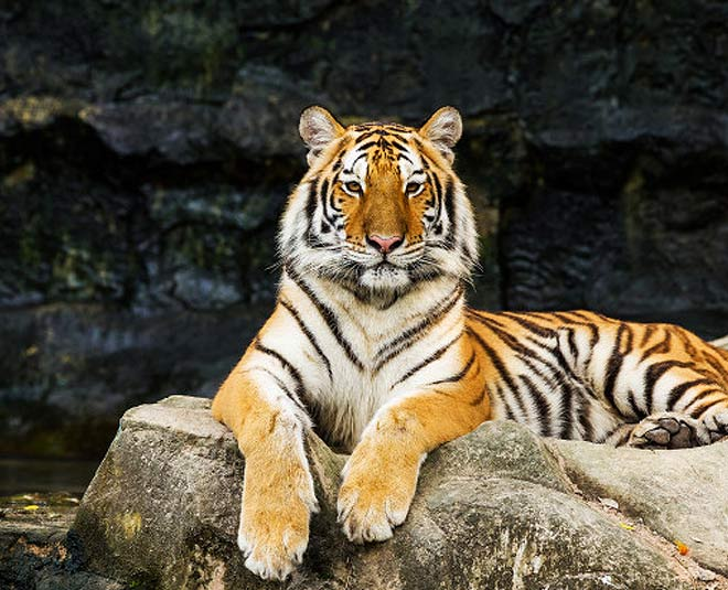 international tiger day  everything you need to know about tigers main