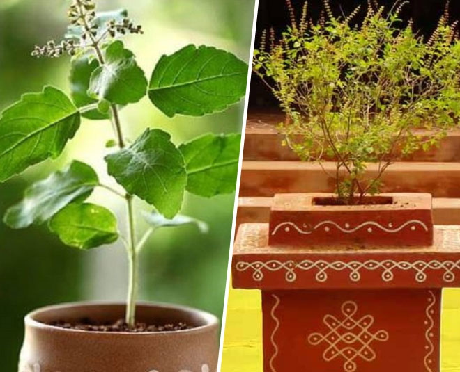 best method to grow tulsi plant at home cc