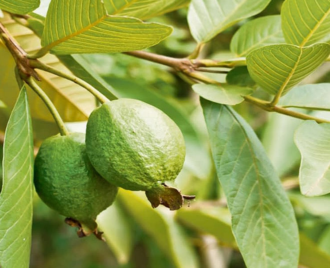 guava leaves beauty benefits for fair skin main