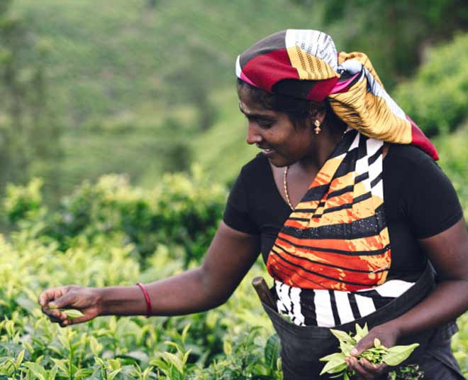 india tea garden main