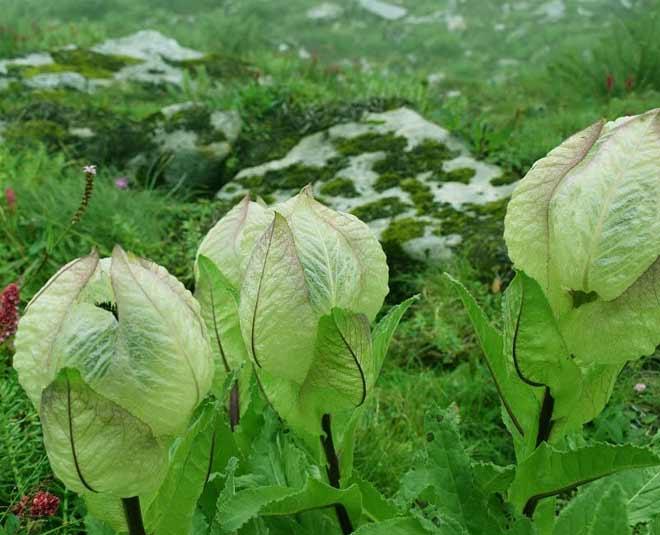 brahma kamal flower in uttarakhand