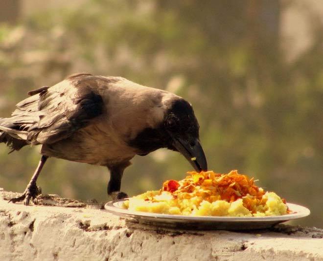 feed crow during pitru paksha main