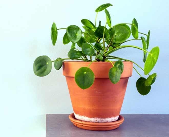 money  plant  sukhne  lage  to  kya  kare