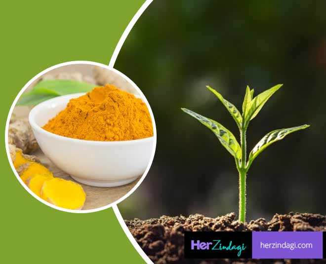 turmeric for plants m