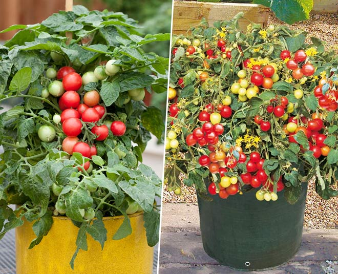 how to grow  cherry tomatoes in pots ideas