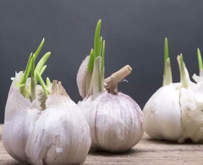 keep garlic from sprouting