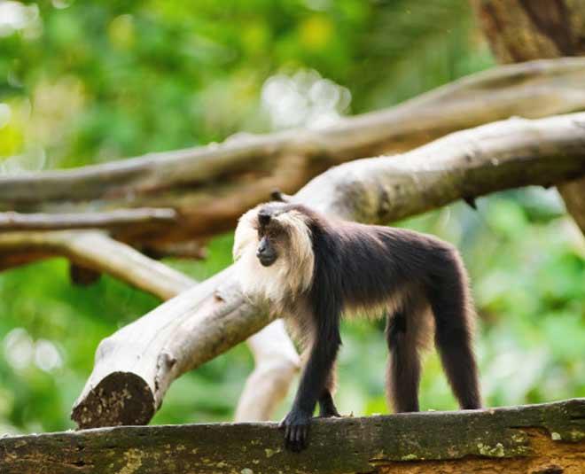 lion tailed monkey main