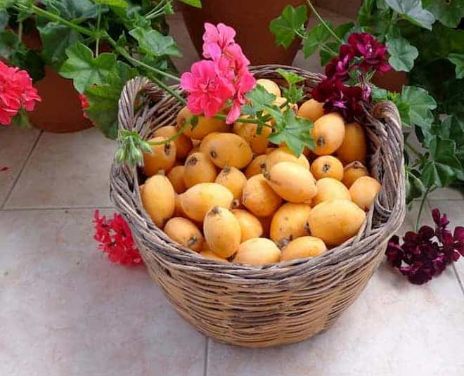 loquat benefits main