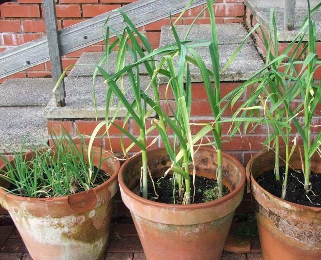 grow  garlic plant at home