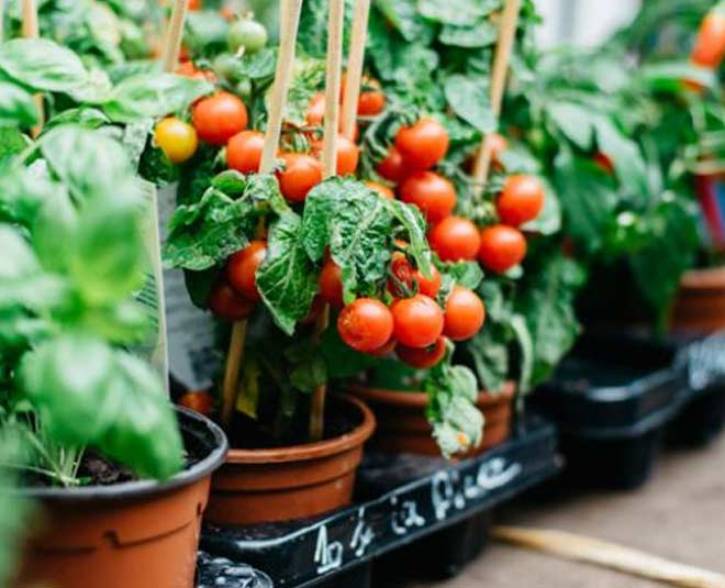 how to grow tomatoes at home ideas
