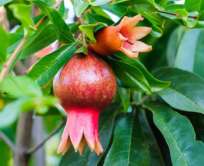 Health Benefits Of Pomegranate Flower