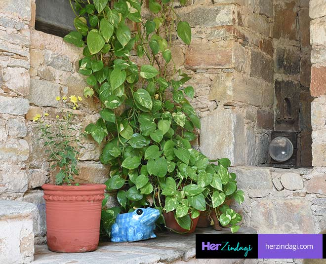 money  plant  care  in  winter  in  hindi