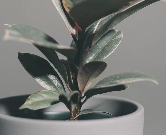 Rubber Plant Benefits