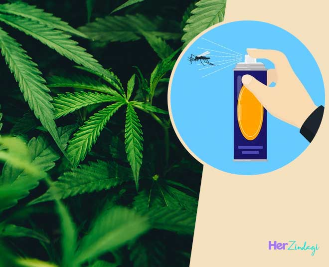 about bhang leaf natural insect spray