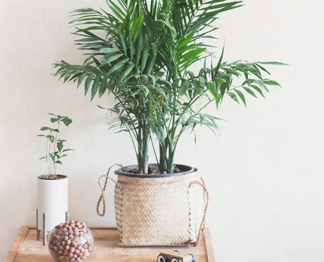 areca palm home