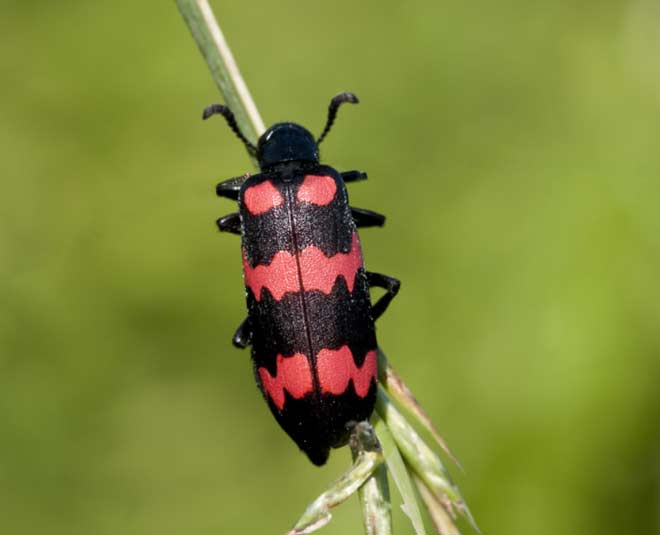 blister  beetle  bugs