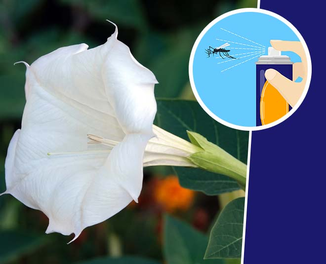 know datura flower insect spray