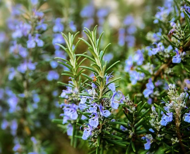 ways to grow rosemary plant at home
