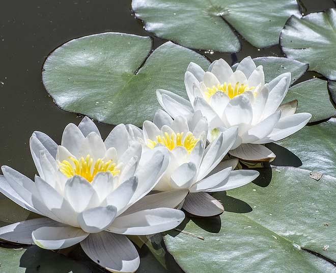 white water lily main