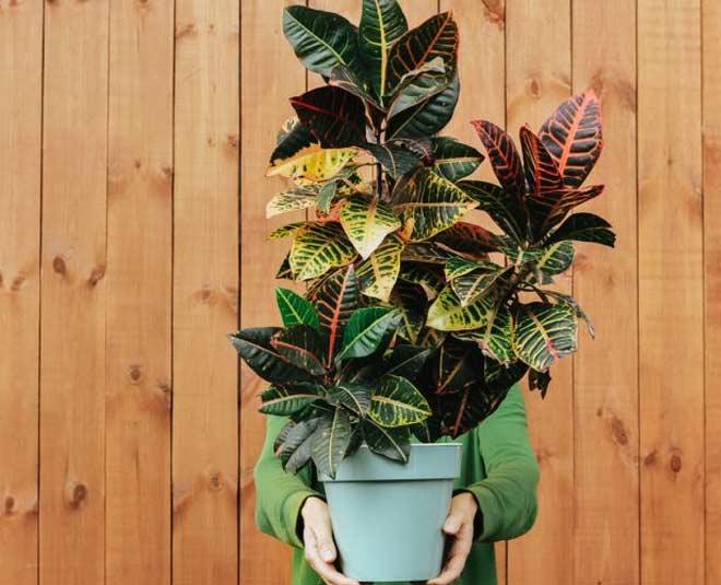 croton plant main