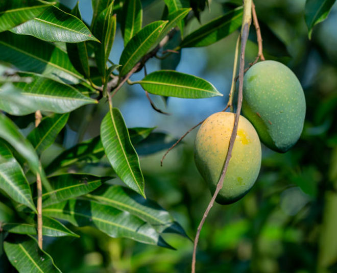 mango leaves benefits Main