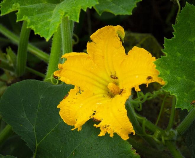 pumpkin flower Main