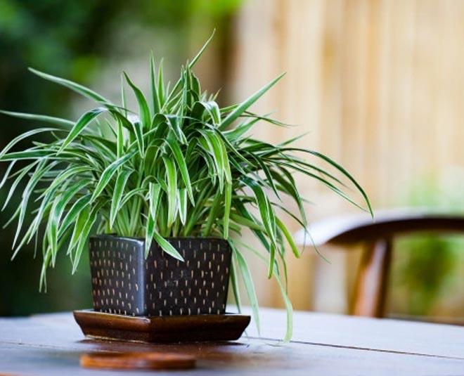 spider plant care main