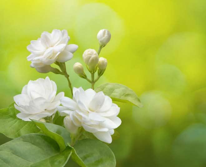 uses of jasmine mogra flower tips