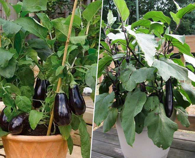 how to grow brinjal at home in pot