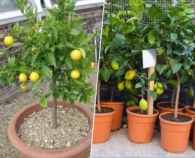 how to grow lemon plant in pot tips