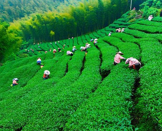 about famous tea gardens in india