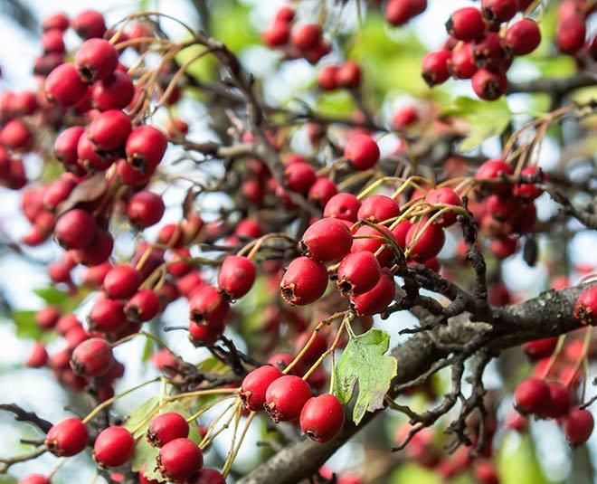 hawthorn berries main