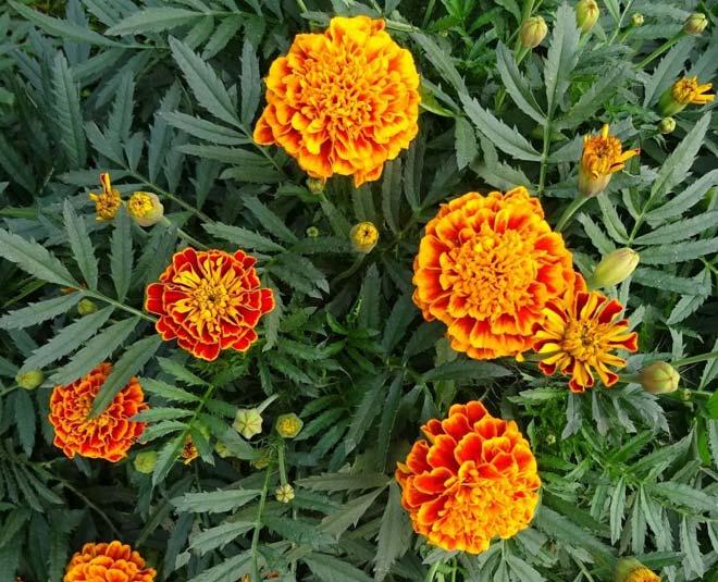 marigold plant main